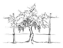 Vineyard. Grape on the trellis, graphic vector illustration Royalty Free Stock Photography