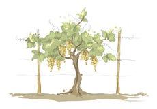 Vineyard. Grape on the trellis, graphic vector illustration Royalty Free Stock Photo