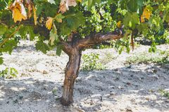 Grape trunk. Grapevine detail with trunk and earth Stock Images