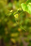 Grape twig Royalty Free Stock Image