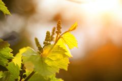 Grape twig against the sky in the sun royalty free stock image