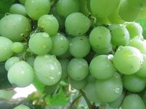 Grape is a type of fruit that grows in groups royalty free stock image