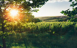 Grape Valley In Soft Sunset Light, Growing Vineyard, Picturesque Rural Landscape Royalty Free Stock Images