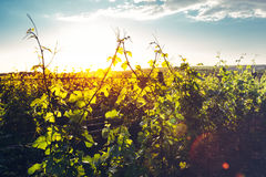 Grape Valley In Soft Sunset Light, Growing Vineyard, Picturesque Rural Landscape Stock Image