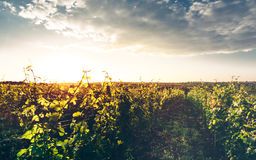 Grape Valley In Soft Sunset Light, Growing Vineyard, Picturesque Rural Landscape Royalty Free Stock Photo