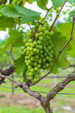 Grape valley. From thailand Stock Photos