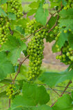 Grape valley Stock Images