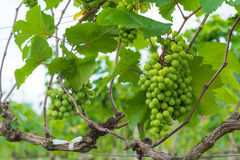Grape valley Royalty Free Stock Photography
