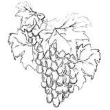 Grape, vector Royalty Free Stock Photos