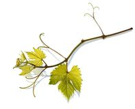 Grape vine. Royalty Free Stock Images