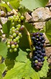 Grape vine. Growing against old stone wall Royalty Free Stock Photo