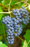 Grape vine. And green  leaf Stock Image
