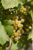 Grape vine Stock Photography