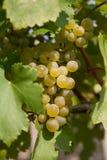 Grape vine. Bunch of green grape vine in vineyard Stock Photography