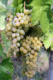 Grape on the vine Royalty Free Stock Photo