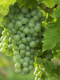 Grape vine. View of some grapes on the vine Royalty Free Stock Images