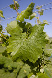 Grape vine. Closeup of a grape vine leaf and plant Royalty Free Stock Photo