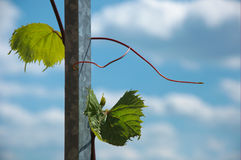 Grape vine. On a metal column against blue sky with white clouds Stock Image