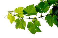 Grape vine royalty free stock photography