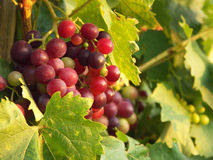 Grape vine. View of some young grape of the vine Royalty Free Stock Photo