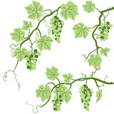 Grape Vine. Illustration of grape vines. Hand-drawn with Illustrator brushes Stock Image