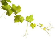 Grape vine. Vine leaves on a white background royalty free stock image