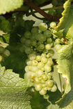 Grape vine. View of some grape of the vine Stock Images