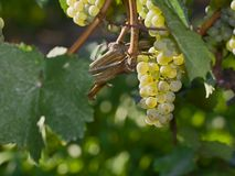 Grape on the vine Stock Images