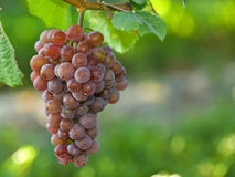 Grape on the vine Royalty Free Stock Images