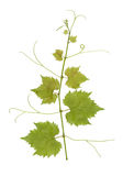 Grape vine. Branch isolated on white. File contains clipping path Stock Photography