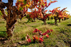 Grape Vine. Old Gnarly Grape Vine With Autumn Colored Leaves Royalty Free Stock Image