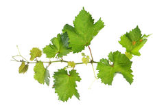 Grape vine. Branch of grape vine on white background Royalty Free Stock Photo