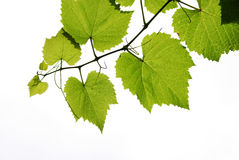 Grape vine. Branch of grape vine on white background Stock Images