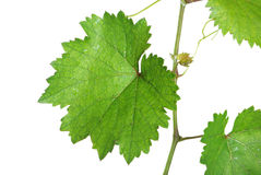Grape vine Stock Images
