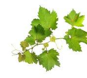 Grape vine. Branch of grape vine on white background Stock Photo