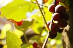 Grape Vine Royalty Free Stock Photography