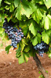Grape vine. Bunches of blue grapes growing on vine covered in lush foliage Stock Photography