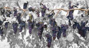 Grape Vine. Color  grape vine bachdrop Stock Images