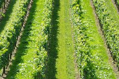 Grape-vine. Beautiful Lush Grape Vineyard In The Morning Mist and Sun with Room for Your Own Text Royalty Free Stock Photos
