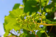 Grape-vine. Beautiful Lush Grape Vineyard In The Morning Mist and Sun with Room for Your Own Text Royalty Free Stock Images
