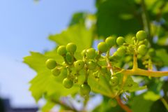 Grape-vine. Beautiful Lush Grape Vineyard In The Morning Mist and Sun with Room for Your Own Text Royalty Free Stock Photo