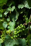 Grape Vine. Grapes on vines at a vineyard Royalty Free Stock Images