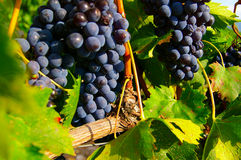 Grape vine. Red grapes on the vine at vineyard royalty free stock image