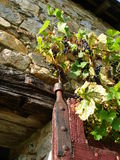 Grape vine. Growing on old stone wall Stock Photo