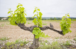 Grape Vine Royalty Free Stock Image