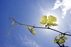 Grape Vine. Twigs of a grape vine, backlit by the sun on a summer afternoon, with the fresh grapes forming and growing Stock Photography