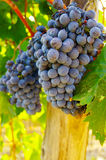 Grape vine. Ripe vineyard red grapes on the vine royalty free stock photos