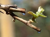 Grape-vine royalty free stock photo
