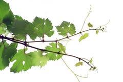 Grape vine. On the white background stock photo