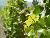 Grape vine. At sun light Stock Photography